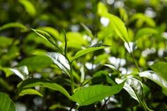 Hojas de té crecientes Foto de archivo libre de regalías