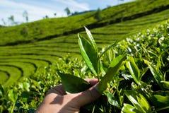 Hojas de té de la cosecha Foto de archivo libre de regalías
