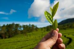 Hojas de té de la cosecha Fotos de archivo