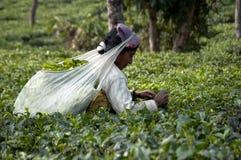 Hojas de té de la cosecha del trabajador de mujer Imágenes de archivo libres de regalías