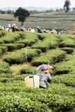 Hojas de té de la cosecha del trabajador del té Fotos de archivo