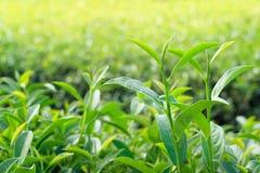 Hojas de té de Oolong, dos hojas y un brote Imagen de archivo
