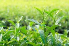Hojas de té de Oolong, dos hojas y un brote Imágenes de archivo libres de regalías