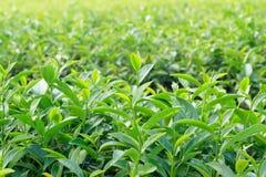 Hojas de té de Oolong, dos hojas y un brote Fotos de archivo libres de regalías