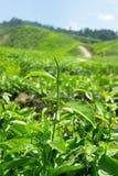 Hojas de té en la plantación de té Imagen de archivo