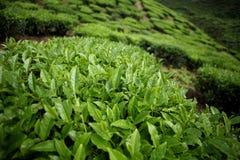 Hojas de té en la plantación de té Foto de archivo