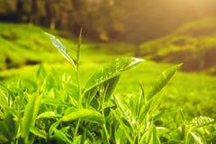 Hojas de té en sol Fotos de archivo