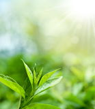 Hojas de té en una plantación foto de archivo
