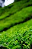 Hojas de té en una plantación Imágenes de archivo libres de regalías