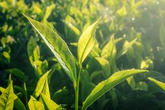 Hojas de té frescas imagenes de archivo
