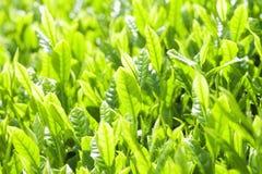 Hojas de té frescas Foto de archivo