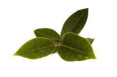 Hojas de té frescas Foto de archivo libre de regalías