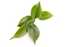 Hojas de té frescas Imágenes de archivo libres de regalías