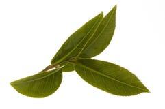 Hojas de té frescas Fotografía de archivo