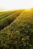 Hojas de té frescas el mañana Imagenes de archivo