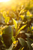 Hojas de té frescas el mañana Foto de archivo libre de regalías