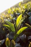 Hojas de té frescas el mañana Imágenes de archivo libres de regalías