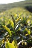 Hojas de té frescas el mañana Fotos de archivo libres de regalías