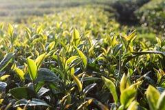 Hojas de té frescas el mañana imagen de archivo