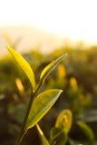 Hojas de té frescas el mañana fotos de archivo