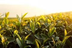 Hojas de té frescas el mañana imagen de archivo libre de regalías