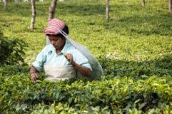 Hojas de té indias de la cosecha de la señora en el jardín de té Imagenes de archivo