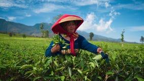 Hojas de té indonesias de la cosecha de la mujer metrajes