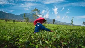 Hojas de té indonesias de la cosecha de la mujer almacen de video