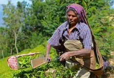 Hojas de té de la cosecha de la mujer en Munnar, Kerala, la India imágenes de archivo libres de regalías