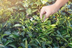 Hojas de té de la cosecha Selección de extremidad de la hoja de té verde por la mano humana en la colina de la plantación de té d imagenes de archivo