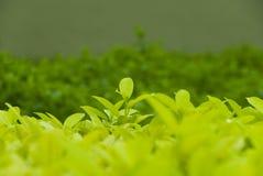 Hojas de té orgánicas Imágenes de archivo libres de regalías