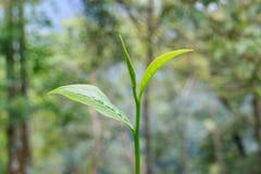 Hojas de té u hojas de té del assamica, dos hojas y un brote Foto de archivo