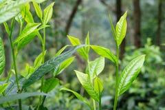 Hojas de té u hojas de té del assamica, dos hojas y un brote Imagen de archivo libre de regalías