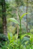 Hojas de té u hojas de té del assamica, dos hojas y un brote Fotografía de archivo libre de regalías