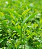 Hojas de té verdes Fotos de archivo libres de regalías