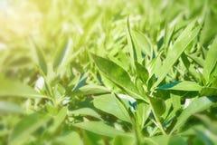 Hojas de té verdes en una plantación de té imagenes de archivo