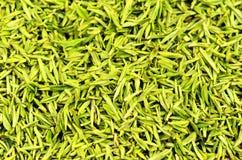 Hojas de té verdes escogidas Foto de archivo libre de regalías