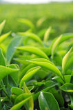 Hojas de té verdes jovenes en la plantación de té Fotografía de archivo libre de regalías