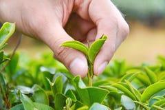 Hojas de té de la cosecha de la mano Foto de archivo libre de regalías