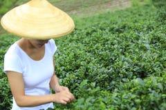 Hojas de té de la cosecha de la mujer Imagen de archivo libre de regalías