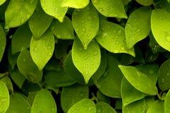 Hojas de té en la lluvia Fotos de archivo