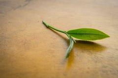 Hojas de té verdes frescas Imágenes de archivo libres de regalías