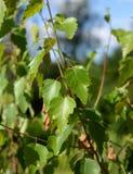 Hojas de un árbol de abedul en el verano Fotografía de archivo libre de regalías