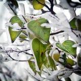 Hojas de un árbol con hielo Imagenes de archivo
