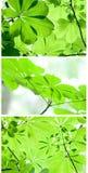 Hojas de un árbol de castaña Foto de archivo libre de regalías