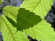Hojas de un árbol de castaña Imagen de archivo