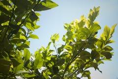Hojas de un árbol de limón Imagen de archivo libre de regalías
