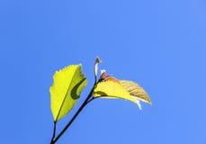 Hojas de un árbol debajo del cielo azul Imagenes de archivo