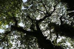 Hojas de un árbol tropical grande visto de abajo Foto de archivo libre de regalías