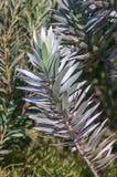 Hojas de un Protea del árbol de plata Fotografía de archivo